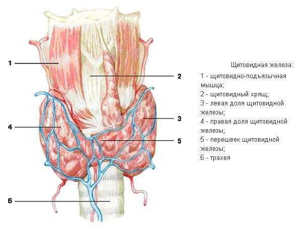 Норма гормонов щитовидной железы ТТГ